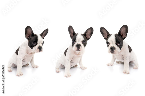 French bulldog puppies over white background