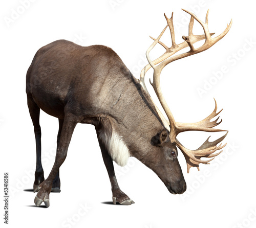 male reindeer over white with shade