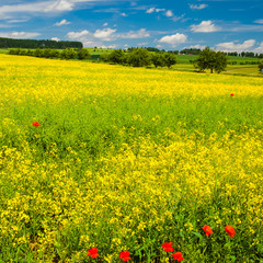 Spring Landscape of Rape Seed Field with the Red Poppy Blossoms
