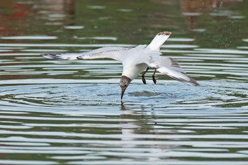 Black-headed gull (Larus ridibundus) dives