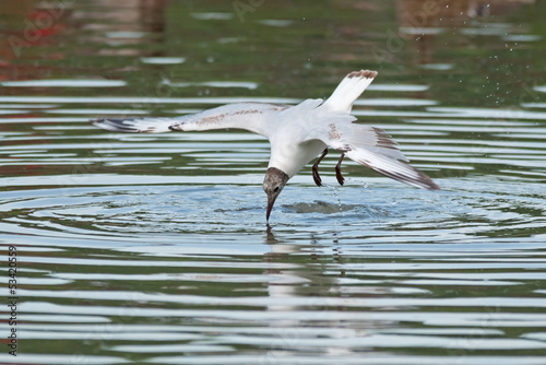 Black-headed gull (Larus ridibundus) dives