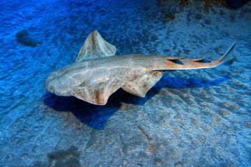 Gewöhnlicher Engelhai (Squatina squatina)