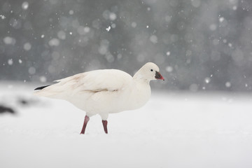 Snow goose, Anser caerulescens