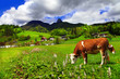 Alpine scenery - green meadows, cows, mountains