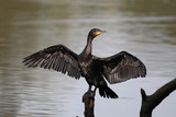 Cormorant, Phalacrocorax carbo,