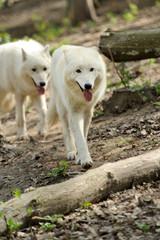 Wild white wolf