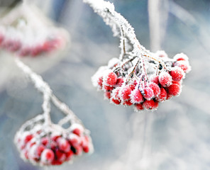 Frozen rowan berries