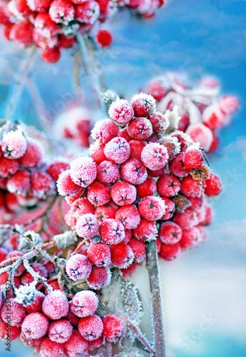 canvas print picture Frozen rowan berries