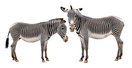 Zebras isolated on white