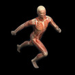 Sport anatomy - runner