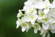 白と緑の紫陽花スノーフレーク