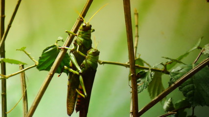two grasshoppers mating