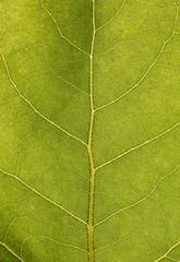 Texture di foglia verde