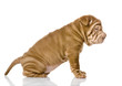sharpei puppy dog. isolated on white background