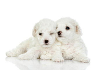 two puppies of a lap dog. isolated on white background
