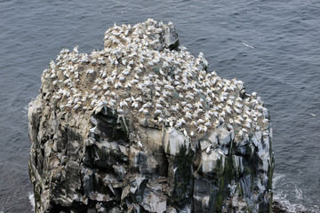 Rock in ocean with Nothern Gannet colony.