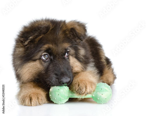 puppy bites a toy. looking away. isolated on white background