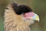 Portrait of a Southern Crested Caracara.