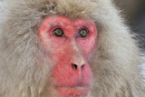 Portrait from a Japanese Macaque.