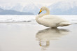 Whooper Swan standing with reflection in water.