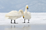 Two Whooper Swans at courtship.