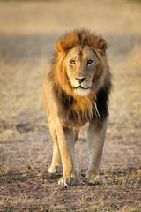Male Lion standing up front.