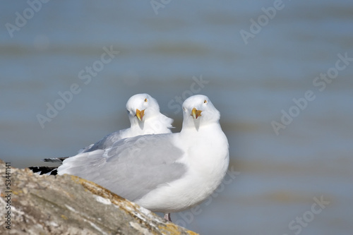 A pair of Herring Gulls