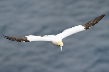Gannet flying above the ocean.