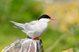 Arctic Tern perched on rock