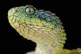 Fototapety Bush viper / Atheris squamigera