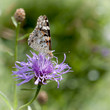 Butterfly collects nectar on a purple flower