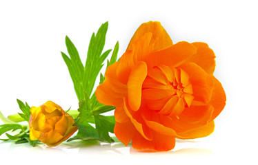 Big and small buds of beautiful orange globeflowers isolated