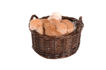 Ginger Kittens in a Basket