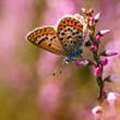 Silver studded Blue Butterfly (Plebeius argus) on Heath