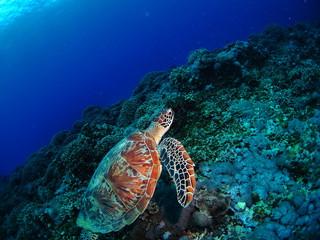 珊瑚の上を泳ぐウミガメ