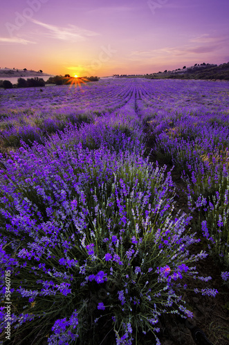 Lavender Field - 53460785