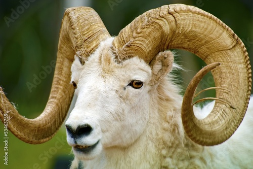 Dall Sheep Closeup