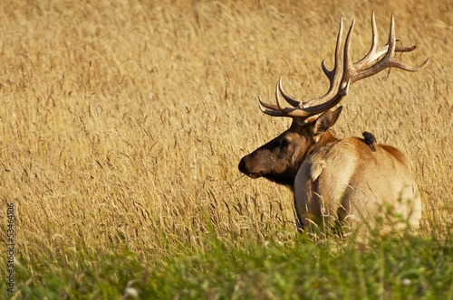 Elk in a Grass