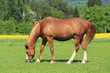 Grazing brown Horses on the green Pasture