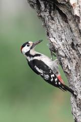 Syrian woodpecker, Dendrocopos syriacus, male