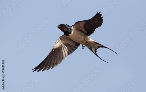 Leinwanddruck Bild Swallow, Hirundo rustica