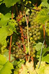 grapes kept pace