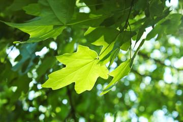 Ahornblatt im Licht