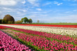 colorful tulip fields in Alkmaar