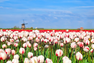 red and white tulips and windmill