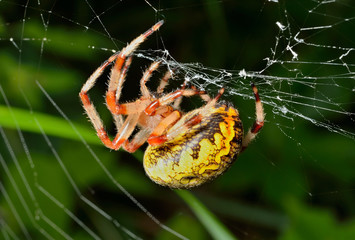 Garden-spider on spider-web 6