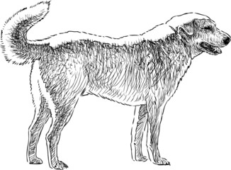 sketch of the dog