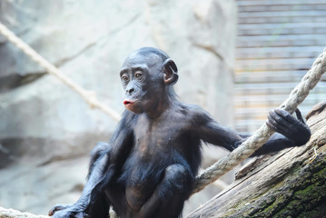 Cute baby Chimpanzee