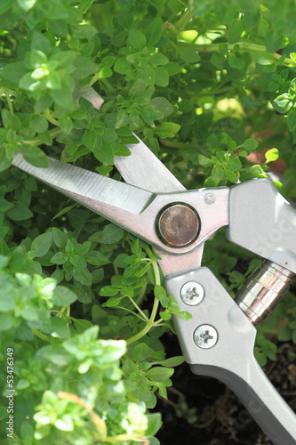 Garden scissor cutting fresh basil