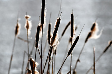 Common bulrush background